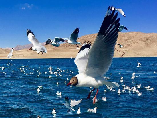 翱翔的白鸥(组图) 吕植平 摄