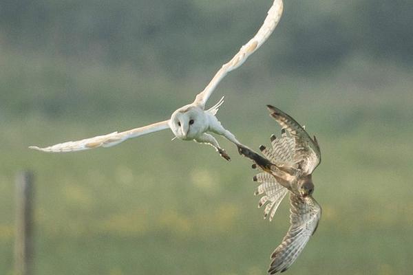 猫头鹰半路遭遇红隼夺食 空中上演拔河赛