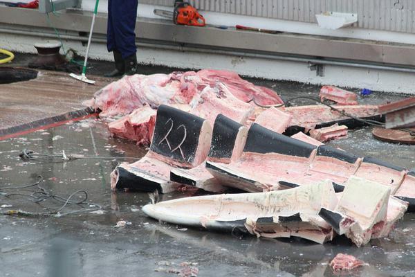 冰岛捕鲸人捕杀稀有蓝鲸 肢解切碎后将销往日本