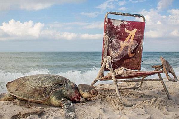 痛心!美国濒危海龟被沙滩椅勒死陈尸沙滩