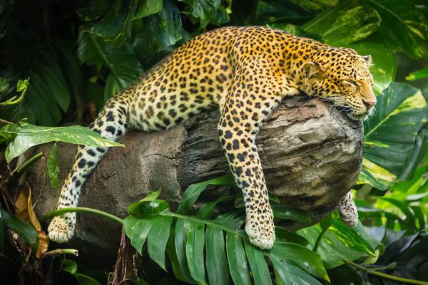 动物界睡神姿势千姿百媚!懒狮白天挂树上睡着了!