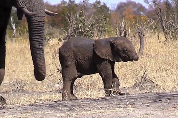 心疼!南非发现失去象鼻小象 或遭遇生存危机