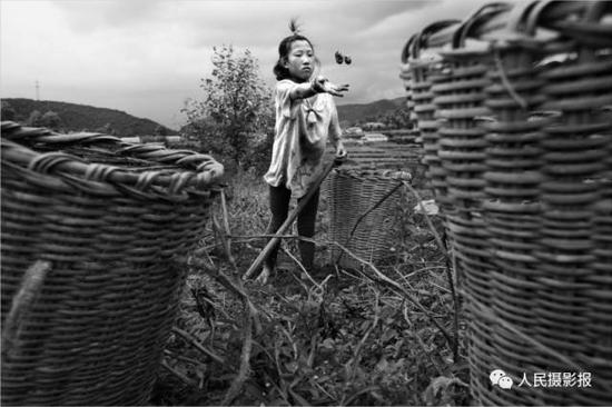 2016年8月8日,12岁的石地正在田里挖土豆,他们居住在山顶,山上种植马铃薯、荞麦、玉米 、萝卜等。