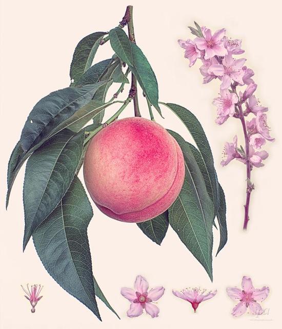 8-138927-17_IPA_Peach