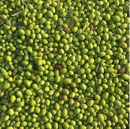 丰收的橄榄©Daria Birang