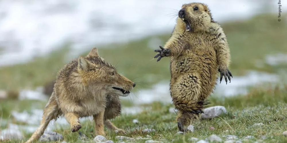 中国摄影师首夺冠!2019年度野生动物摄影师结果公布