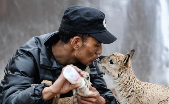 自然環境新聞類單幅銅獎 《可可西里藏羚羊幼兒園》 薛玉斌 新華社青海分社