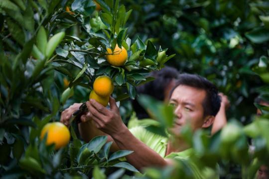 丰收橙—摄影-色影无忌特邀摄影师海盗王基德