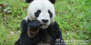 """大熊猫""""盼盼""""离世 全球近四分之一圈养大熊猫系其后代"""