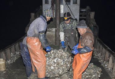 实拍青岛渔民挖海蛎子全过程