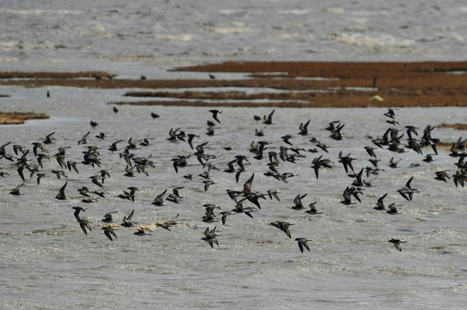 青岛进入候鸟迁徙高峰 数百万只过境