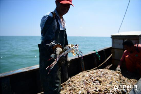 刚刚捕获时的大梭蟹。