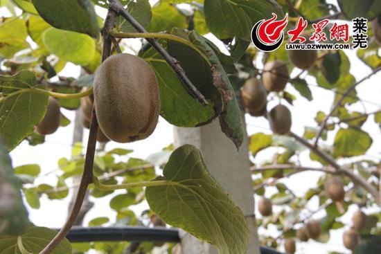 东王庄猕猴桃