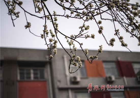 纺织谷的山桃花进入盛花期,洁白的花朵开满枝条。