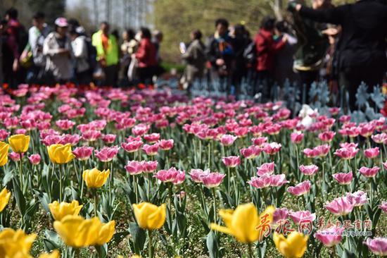 中山公园郁金香盛放。记者 陈海芹/摄