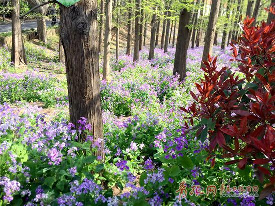 图为中山公园中盛开的二月兰。记者 陈海芹/摄