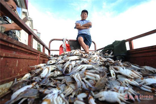 2017年9月4日,开海以来,海蟹捕获量增加,图为一名商贩用车在青岛市沙子口码头销售螃蟹。