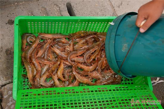 2017年9月4日,在青岛市沙子口码头,刚刚上岸的海捕大虾。