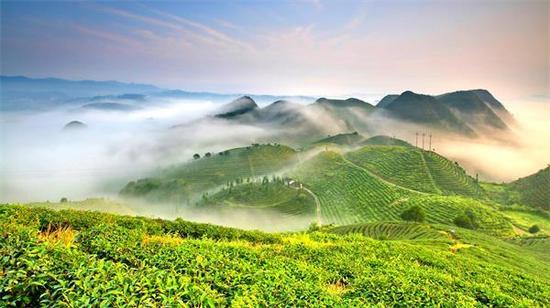 丹寨县龙泉镇马寨茶叶种植基地(苗西明 摄)