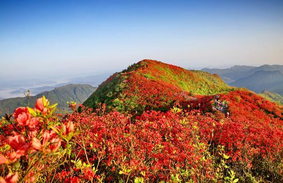 丹寨县龙泉映山红(苗西明 摄)