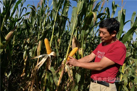 平度市农技人员正在查看玉米生长情况。邢志峰 摄