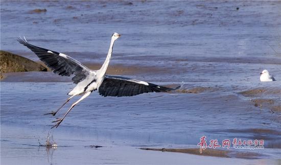 苍鹭河面起舞,动作滑稽。