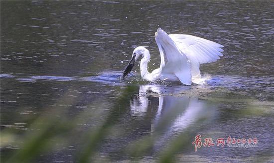 """白鹭迅速出击,成功捕获""""猎物""""。"""
