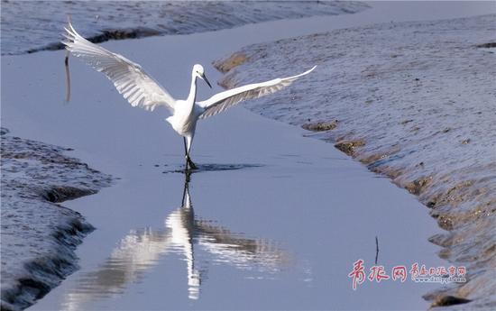 白鹭振翅欲飞,姿态优雅。