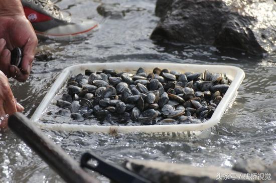2017年10月25日,市民在青岛胶州湾沧口海滩赶海,收获大量蚬母。