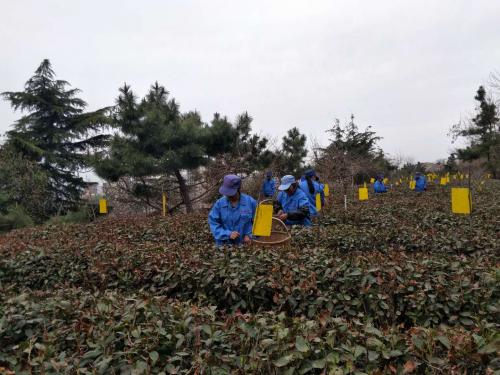 4月下旬迎来大田茶规模开采
