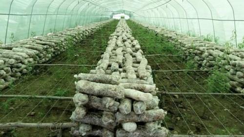 (春兰家大棚里种植的蘑菇,每年能给这个家庭带来几万元的收入)