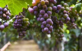 今年青岛的葡萄啥时候最好吃?