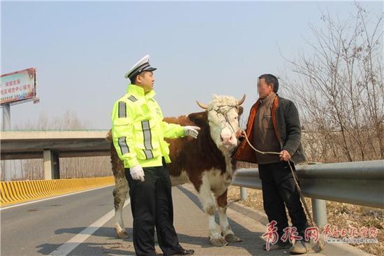危险!老汉为了抄近道竟骑牛上高速(图)