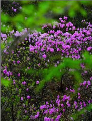 春风十里,到崂山巨峰来赏杜鹃花