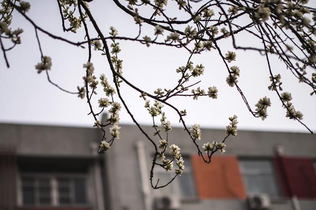 青岛纺织谷桃花盛开 洁白芳香惹人喜爱