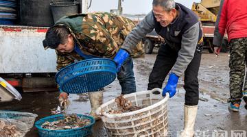 出海开捕啦 沙子口渔民开始年后作业
