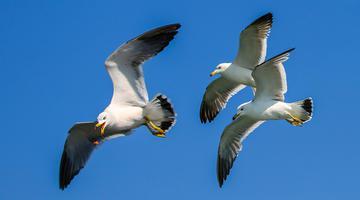 烟台:游客与海鸥互动 人鸟和谐共生