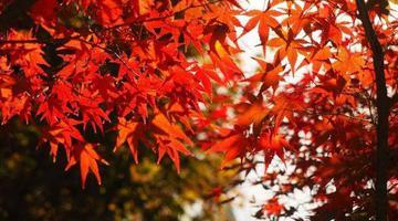"""济南这片最美红枫林""""枫情万种"""""""