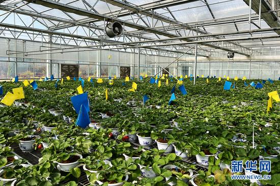 小草莓带动大产业