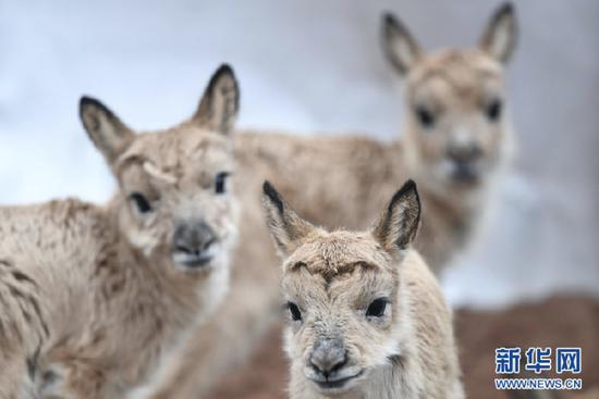 这是7月7日在三江源国家公园管理局长江源园区可可西里管理处卓乃湖保护站拍摄的三只藏羚羊幼仔。新华社记者 薛玉斌 摄