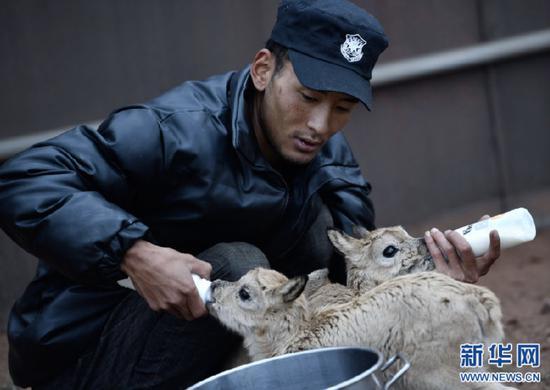 7月8日,三江源国家公园管理局长江源园区可可西里管理处卓乃湖保护站的工作人员才文多杰在给藏羚羊幼仔喂奶。新华社记者 张龙 摄