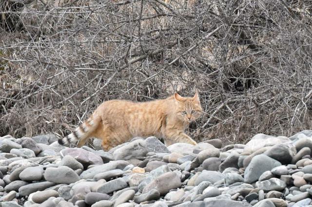 祁连山国家公园首个荒漠猫专项调查取得阶段性成果