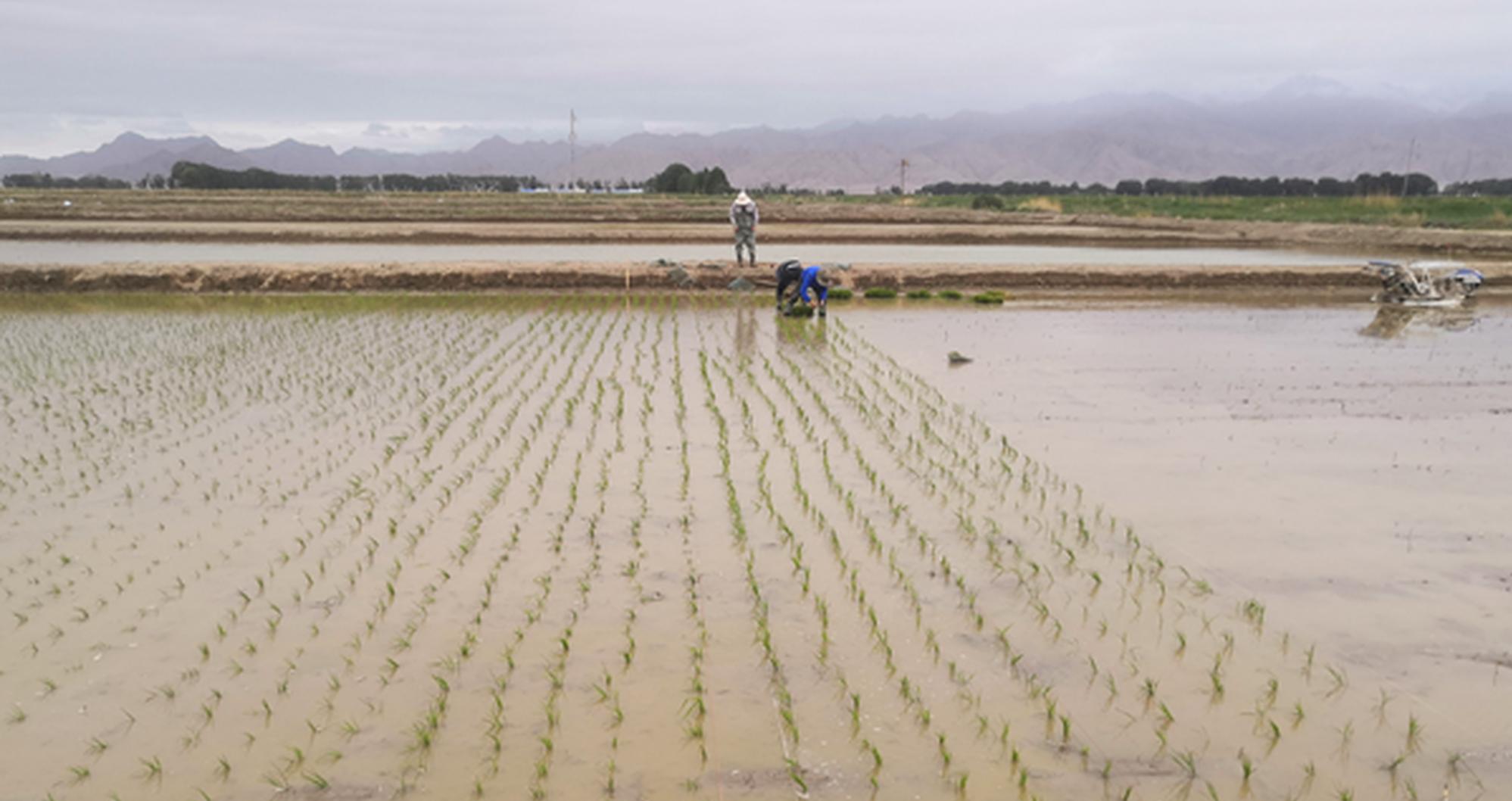 青藏高原柴达木盆地试种植近百亩海水稻