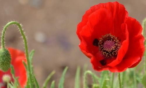 泸州市民外出踏青发现罂粟花可打110举报 最高奖励1万元