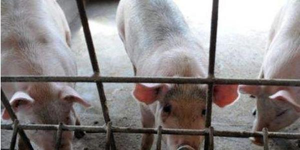 四川生猪项目稳步复工 今年目标出栏6000万头