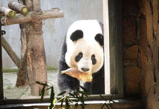 """成都大熊猫种群首次出现睾丸肿瘤 团子""""福福""""蛋蛋被切"""