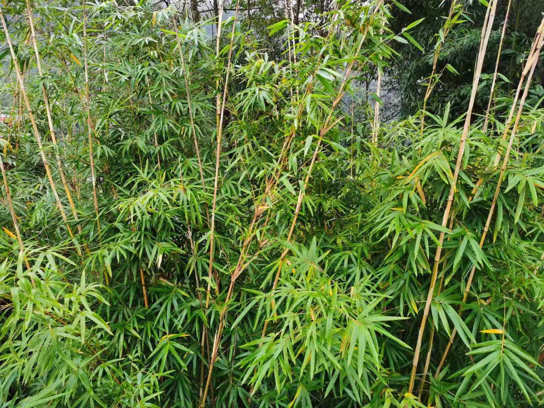 第一批四川省竹产业高质量发展县名单公布