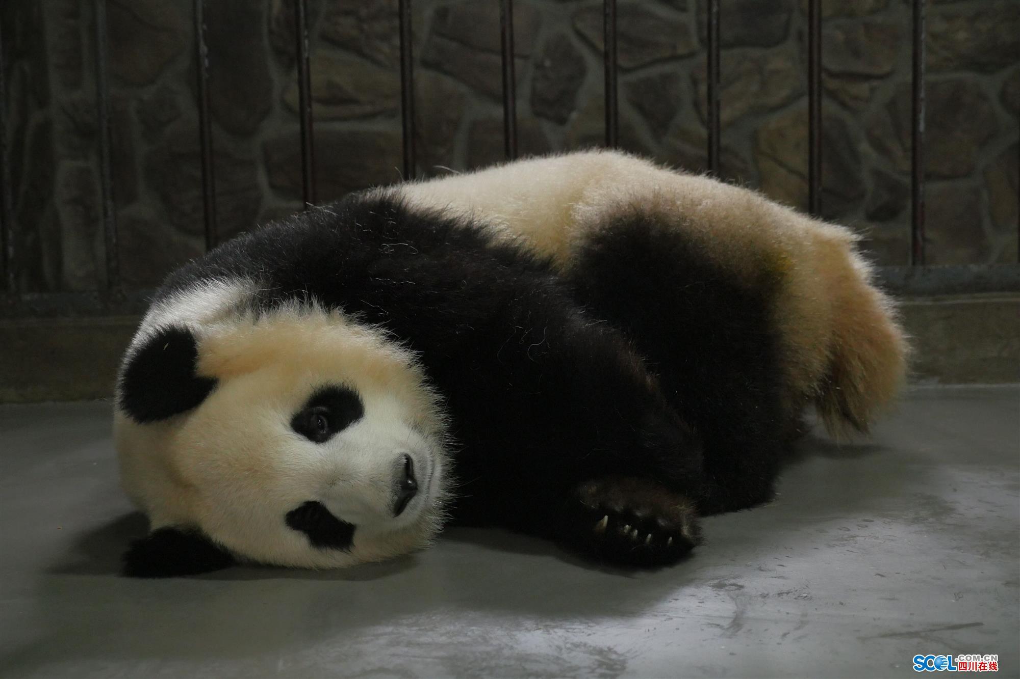 那只看爱情动作片的大熊猫 又收获爱情结晶啦!