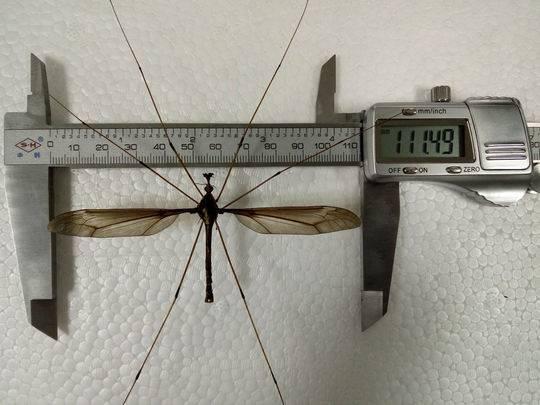 幸好这蚊子不咬人 翅展超0.1米成都或发现世界上最大蚊子