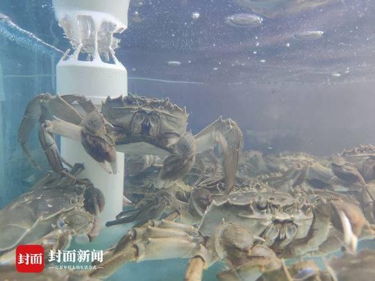 大闸蟹打针注水激素养肥吃避孕药长大 成都水产专家辟谣
